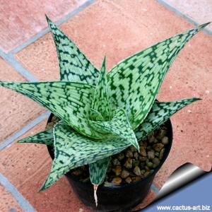 Aloe cv. TARRINGTON