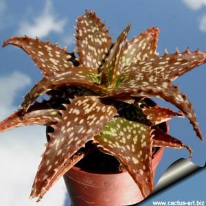 Aloe dorotheae