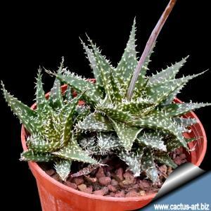 Aloe hybrid descoingsii x hawarthioides