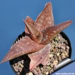 Aloe saponaria var. latifolia