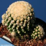 Echinocactus grusonii mostruosus