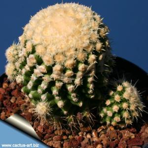 Echinocactus grusonii forma monstruosa