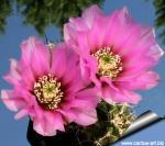 Echinocereus fendleri rectispinus Prescott, Yavapai Co, Arizona, USA