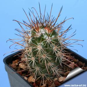 Mammillaria marittima (Syn: Cochemiea marittima)