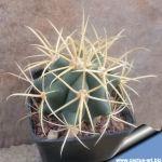 Ferocactus acanthodes v. albispinus