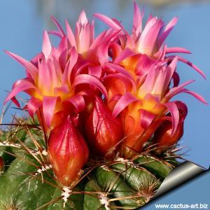 Oroya peruviana minima f. caespitosa CLONE A