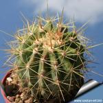 Ferocactus reppenhagenii