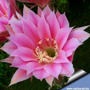 Echinopsis hybrid cv. BEYOND INFINITY