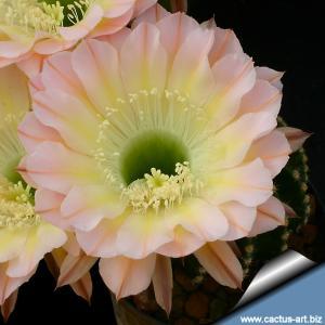 Echinopsis hybrid cv. EDWARDIAN LADY (Schick)