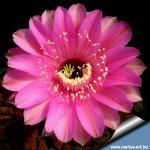 Echinopsis hybrid cv. SYNCOPATION (schick)