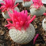 Epithelantha micromeris SB125 Arteagas Canyon, Saltillo, Coahuila, Mexico