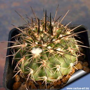 Eriosyce islayensis v. copiapoides (Syn: Islaya copiapoides)