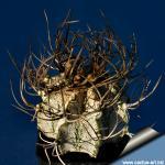 Astrophytum capricorne niveum