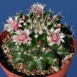 Mammillaria reppenhagenii REP 1119, Abra Celaya Ciudad Mante Tamaulipas Mexico 150m (Syn.: Mamm. vallensis v. brevispina
