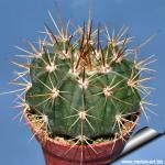 Melocactus grisoleoviridis
