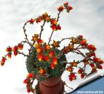 """Echeveria setosa var. deminuta """"rundellii"""""""