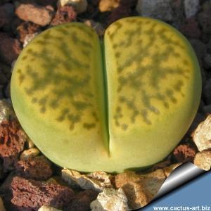 "Lithops bromfieldii v. insularis ""Sulphurea"" C362"