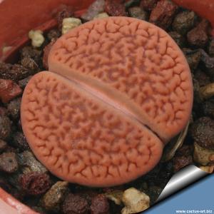 Lithops hookeri vermiculate Strydenburg