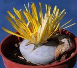 Lithops pseudotruncatella ssp. volkii C069 45 km S Windhoek, Windhoek (N)