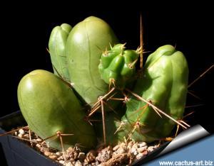 Trichocereus bridgesii forma mostruosa Clone A