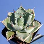 Agave potatorum (Syn: A. verschaffeltii) compact growing type