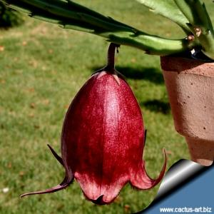 Stapelia leendertziae (tulipano nero/black tulip)