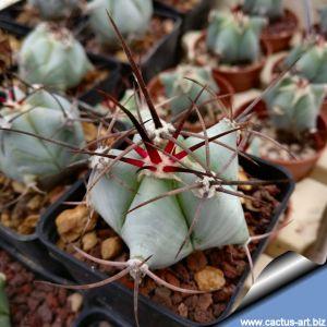 Echinocactus ingens CSD. 26 Zimapan