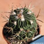 Echinofossulocactus dichroacanthus Salinas