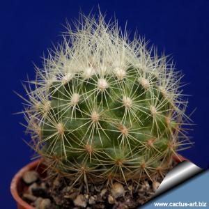 Acharagma roseana SB459 Higueras, Coahuila, Mexico