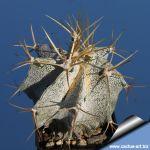 Astrophytum ornatum SB127 Meztitlan, Hidalgo, Mexico. (very dense white flocks)