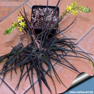 Bulbine frutescens (rooted cuttings)