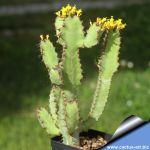 Euphorbia heterospina