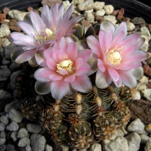 Gymnocalycium bruchii f. proliferum
