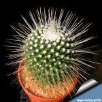 Mammillaria spinosissima  cv. Un Pico