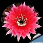 Echinopsis hybrid cv. TEMPTRESS (Schick)