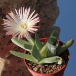 Cheiridopsis albirosea SB772 Concordia, South Africa, fantastic flowers (MG 1364.521)