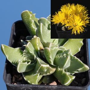 Faucaria sp. Springbokvlakensis, very beautiful species