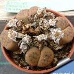 Lithops schwantesii triebneri (tiras)