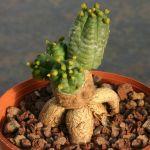 Euphorbia pseudoglobosa (caudiciform roostock)