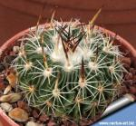 Echinofossulocactus xiphacanthus