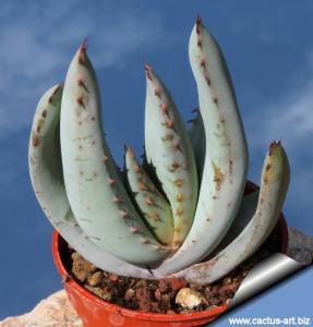 Aloe claviflora