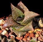Haworthia venosa subsp. recurva Bayer