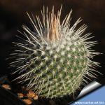 Mammillaria geminispina nobilis