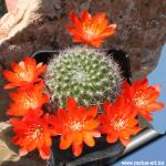 Rebutia pulchella var. prolifera WR597 Sucre, Chuquisaca, Bolivia