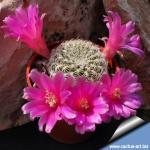 Sulcorebutia pampagrandensis
