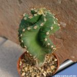 Cereus forbesii cv. spiralis