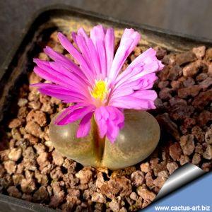 Ophthalmophyllum triebneri (Conophytum)