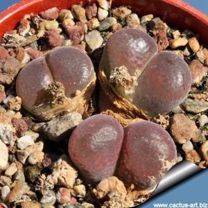 Ophthalmophyllum triebneri