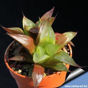 Haworthia fouchei