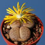 Lithops pseudotruncatella ssp. dendritica C073 95km West-South-West